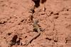 Western whiptail, DINO UT (7)