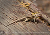 Sagebrush lizard, Sceloporus graciosus, DINO CO