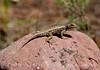 Fence lizard, HCT, DINO (3)