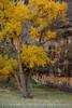Autumn cottonwoods, Echo Park (24)