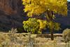 Autumn cottonwoods, Echo Park (11)