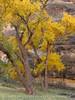 Autumn cottonwoods, Echo Park (26)