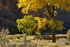 Autumn cottonwoods, Echo Park (16)