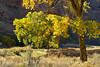 Autumn cottonwoods, Echo Park (14)