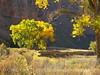 Autumn cottonwoods, Echo Park (33)