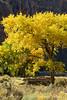 Autumn cottonwoods, Echo Park (4)
