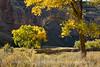 Autumn cottonwoods, Echo Park (17)