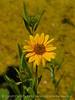 Nuttall's Sunflower, Helianthus nuttalli, Josie's Cabin  (10)