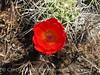 Claret cup cactus, DINO CO (3)