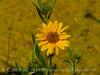 Nuttall's Sunflower, Helianthus nuttalli, Josie's Cabin  (9)