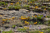 Yellow stonecrop and penstemon, DINO CO (1)