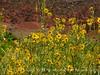 Nuttall's Sunflower, Helianthus nuttalli, Josie's Cabin  (8)