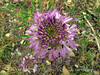 Rocky Mt Beeplant, Cleome serrulata, DINO UT (9)