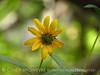 Nuttall's Sunflower, Helianthus nuttalli, Josie's Cabin  (19)