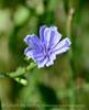 Chicory, Cichorium intybus, DINO UT (5)