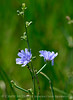 Chicory, Cichorium intybus, DINO UT (1)