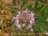 Rocky Mt Beeplant, Cleome serrulata, DINO UT (5)