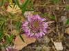Rocky Mt Beeplant, Cleome serrulata, DINO UT (7)