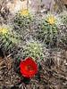 Claret cup cactus, DINO CO (1)