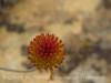 Buckwheat seedhead (3)