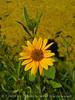 Nuttall's Sunflower, Helianthus nuttalli, Josie's Cabin  (12)
