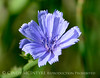 Chicory, Cichorium intybus, DINO UT (6)