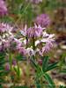 Rocky Mt Beeplant, Cleome serrulata, DINO UT (3)