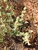 Desert Globemallow seed pods (1)