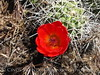 Claret cup cactus, DINO CO (2)