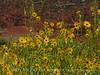 Nuttall's Sunflower, Helianthus nuttalli, Josie's Cabin  (6)