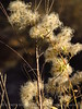 Virgin's bower seedheads, Clematis ligisticifolia, Echo Park (1)