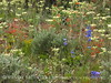 Yarrow, Scarlet Gilia, Penstemon, DINO CO (1)