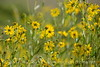 Nuttall's Sunflower, Helianthus nuttalli, Josie's Cabin  (2)