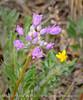Wild onion, Allium acuminatum, DINO CO (3)