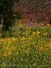 Nuttall's Sunflower, Helianthus nuttalli, Josie's Cabin  (5)
