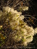 Virgin's bower seedheads, Clematis ligisticifolia, Echo Park (2)