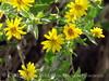 Arrowleaf Balsamroot, Balsamorhiza sagittata, DINO CO (2)