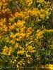 Rabbitbrush blooms, DINO CO (3)