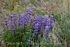 Spurred Lupine, Lupinus caudatus, DINO CO (4)