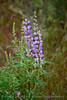 Spurred Lupine, Lupinus caudatus, DINO CO (2)