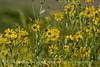 Nuttall's Sunflower, Helianthus nuttalli, Josie's Cabin  (3)