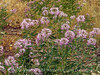 Rocky Mt Beeplant, Cleome serrulata, DINO UT (1)