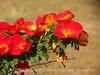 Austrian copper rose, DINO CO (3)