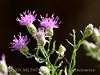 Russian knapweed (3)