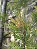 2-needled Pinyon Pine new cones, DINO (2)