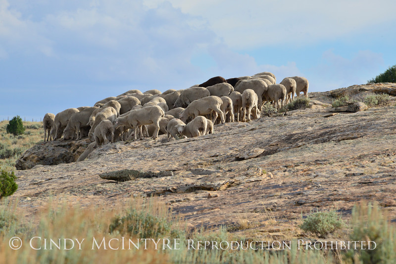 Sheep on BLM land, DINO CO (1)
