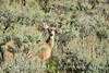 Mule deer doe in sagebrush, DINO CO (1)