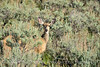 Mule deer doe in sagebrush, DINO CO (2)