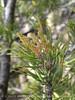 2-needled Pinyon Pine new cones, DINO (1)