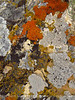 Lichen, Ruple Pt Trail, DINO CO (6)